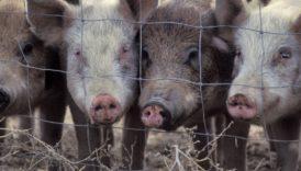 Czytaj więcej o: Informacja dla posiadaczy zwierząt utrzymujących świnie