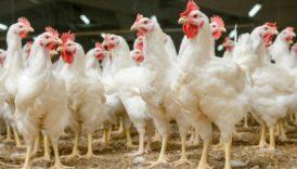Czytaj więcej o: Sankcje za nieprzestrzeganie przepisów w sprawie zarządzenia środków związanych z wystąpieniem wysoce zjadliwej grypy ptaków